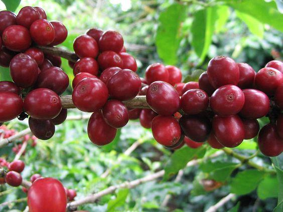 Liên hệ cà phê Lâm Đồng