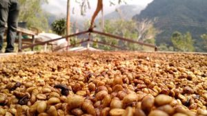 cà phê honey process lâm đồng