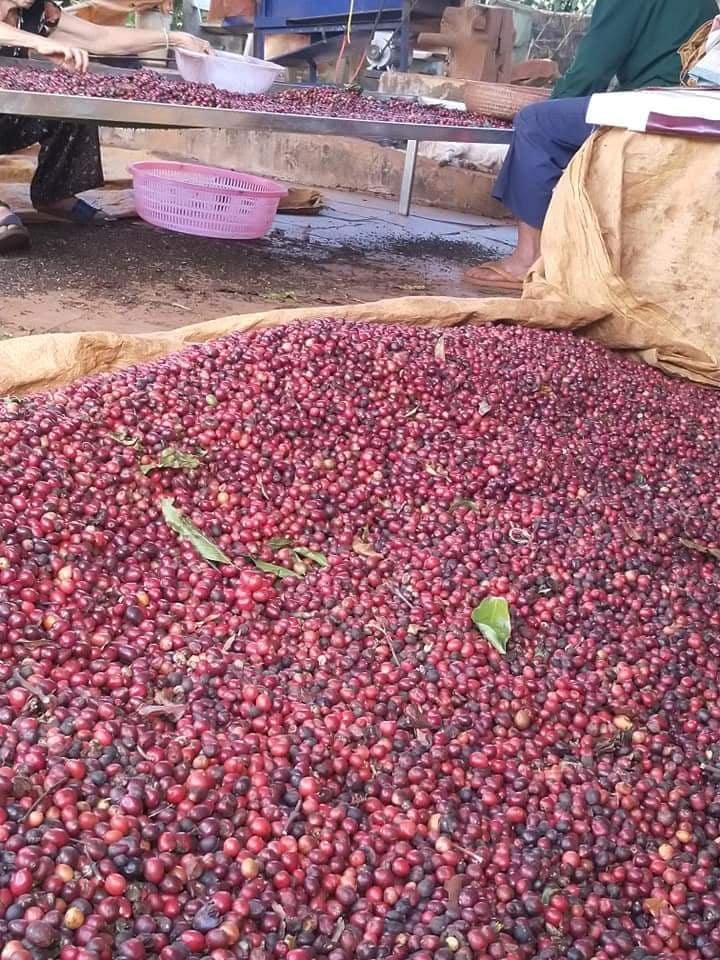 Chế biến cà phê chất lương cao Lâm Đồng