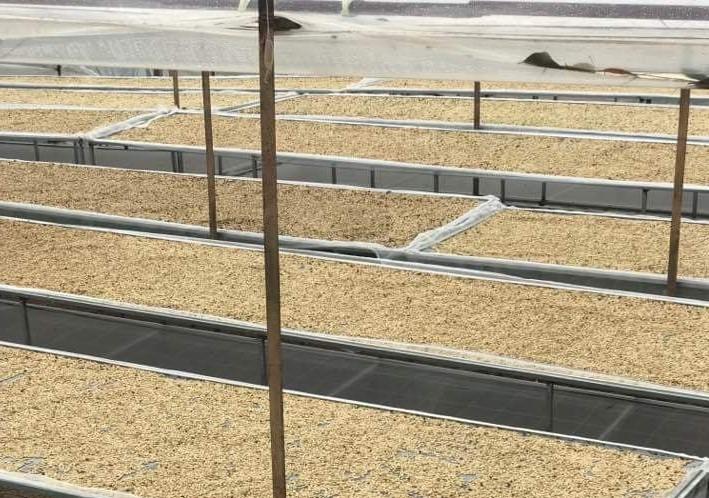 Cà phê Arabica Lâm Đồng -farm liên kết tại cầu đất