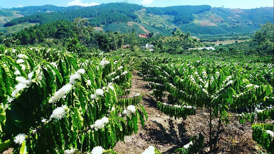 coffee tree Viet Nam